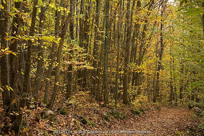 Sweet Chestnut (Castanea sativa) coppiced forest habitat with pathway, Foret de Compagne, Dordogne, France, November  -  Bob Gibbons/ FLPA