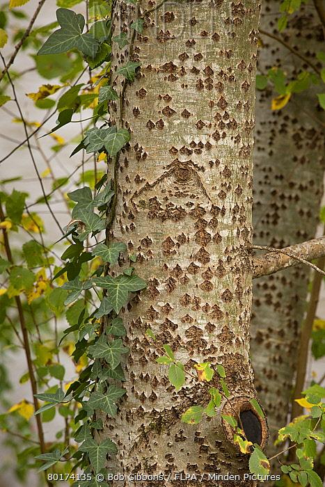 White Poplar (Populus alba) close-up of trunk, with Common Ivy (Hedera helix), Dordogne, France, November  -  Bob Gibbons/ FLPA