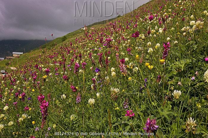 Mixed wildflowers, flowering in grassland habitat on high grazing pasture, Anzar Yayla, Pontic Mountains, Anatolia, Turkey, July  -  Bob Gibbons/ FLPA