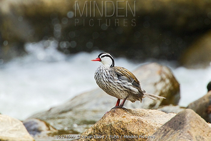 Torrent Duck (Merganetta armata colombiana) adult male, standing on rock in montane stream, Guango, Andes, Ecuador, November  -  Kevin Elsby/ FLPA