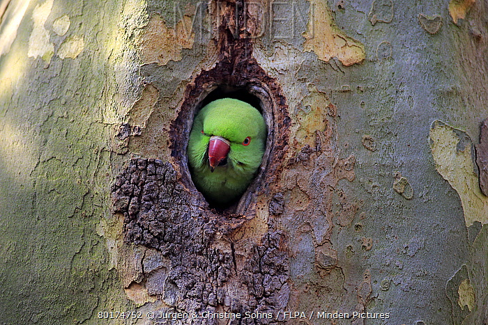 Rose-ringed Parakeet (Psittacula krameri) introduced species, adult female, at nesthole entrance in tree trunk, Luisenpark Mannheim, Mannheim, Baden-Wurttemberg, Germany, March  -  Jurgen and Christine Sohns/ FLPA