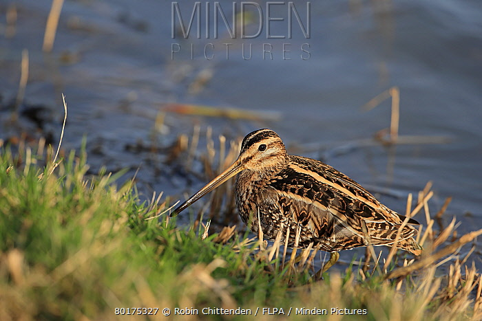 Common Snipe (Gallinago gallinago) adult, standing at edge of water, Norfolk, England, January  -  Robin Chittenden/ FLPA