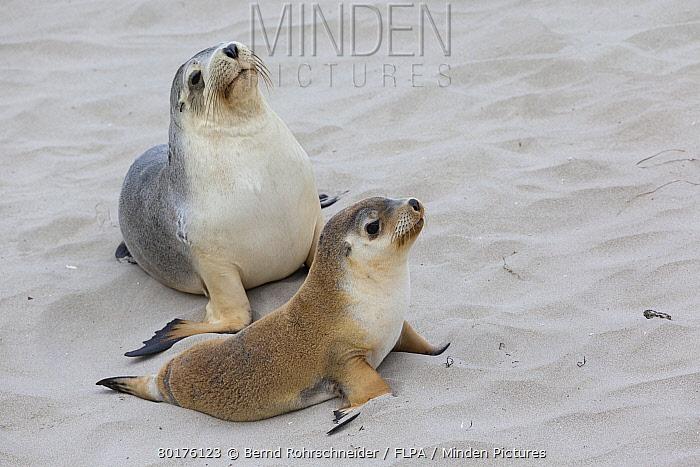 Australian Sealion (Neophoca cinerea) adult female and pup, on sandy beach, Seal Bay, Kangaroo Island, South Australia, Australia, February  -  Bernd Rohrschneider/ FLPA