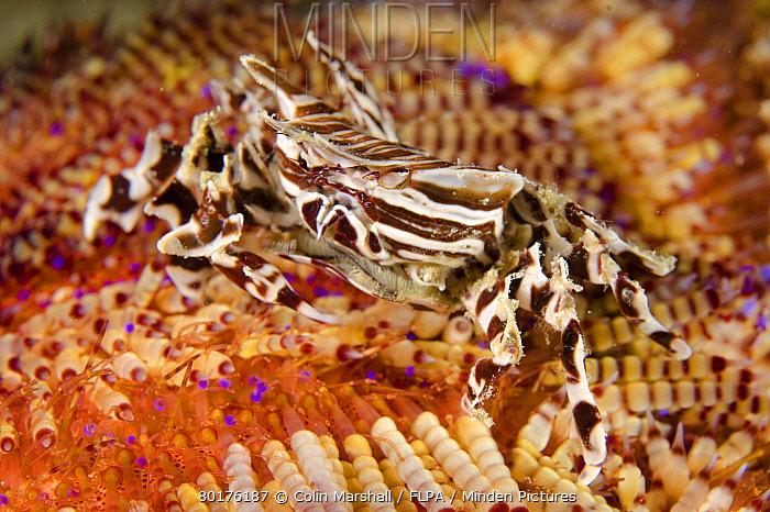 Zebra Urchin Crab (Zebrida adamsii) adult, on Fire Urchin (Asthenosoma varium), Rinca Island, Komodo National Park, Lesser Sunda Islands, Indonesia, March  -  Colin Marshall/ FLPA