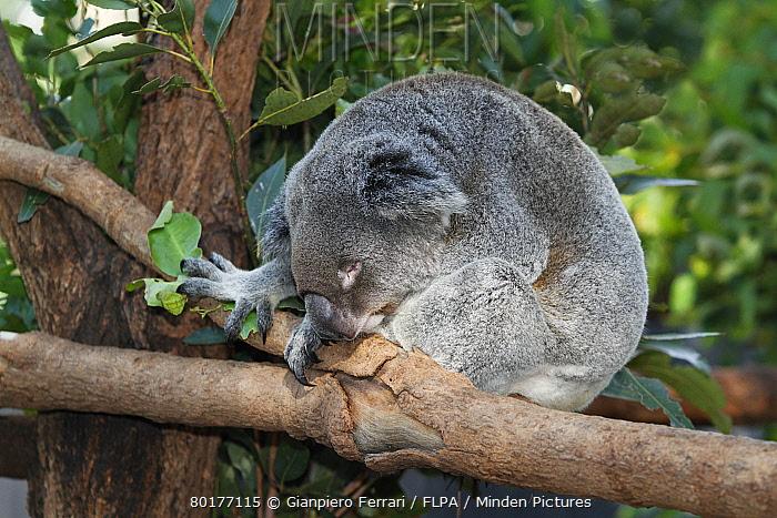 Koala (Phascolarctos cinereus) adult, sleeping on branch, in rescue centre, Brisbane Koala Park, Queensland, Australia, October  -  Gianpiero Ferrari/ FLPA