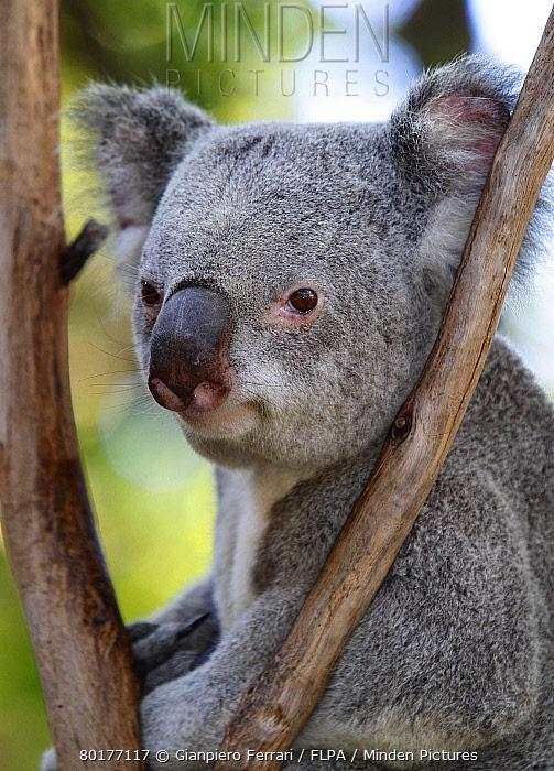 Koala (Phascolarctos cinereus) adult, close-up of head, in rescue centre, Brisbane Koala Park, Queensland, Australia, October  -  Gianpiero Ferrari/ FLPA