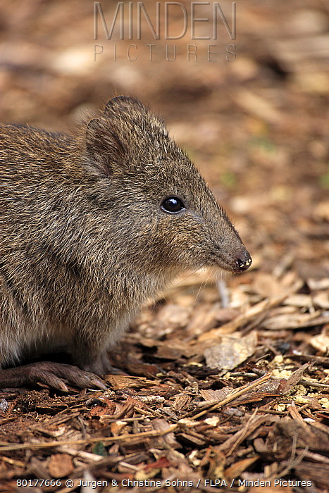 Long-nosed Potoroo (Potorous tridactylus) adult, close-up of head, South Australia, Australia, October  -  Jurgen and Christine Sohns/ FLPA