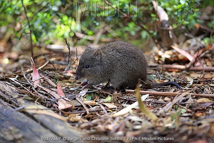 Long-nosed Potoroo (Potorous tridactylus) adult, foraging amongst leaf litter, South Australia, Australia, October  -  Jurgen and Christine Sohns/ FLPA