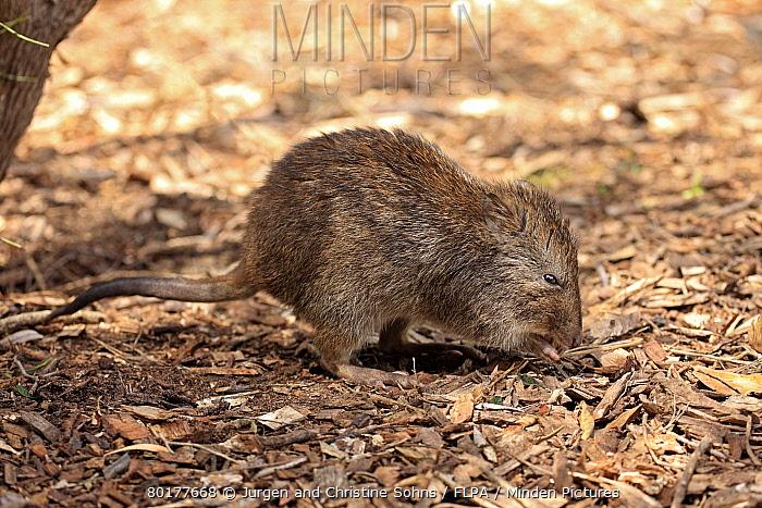 Long-nosed Potoroo (Potorous tridactylus) adult, foraging on ground, South Australia, Australia, October  -  Jurgen and Christine Sohns/ FLPA