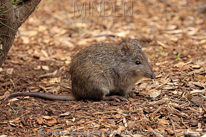 Long-nosed Potoroo (Potorous tridactylus) adult, sitting on ground, South Australia, Australia, October  -  Jurgen and Christine Sohns/ FLPA