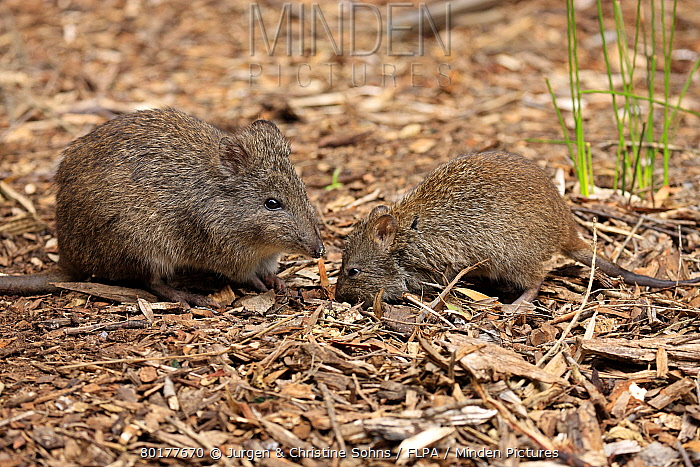 Long-nosed Potoroo (Potorous tridactylus) adult female with young, foraging on ground, South Australia, Australia, October  -  Jurgen and Christine Sohns/ FLPA
