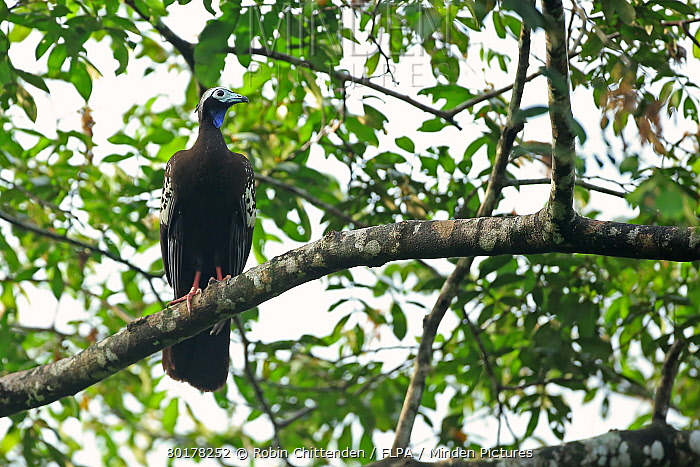 Trinidad Piping-guan (Pipile pipile) adult, perched on branch, Trinidad, Trinidad and Tobago, March  -  Robin Chittenden/ FLPA