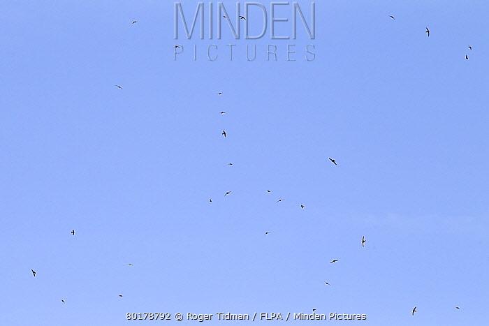 Common Swift (Apus apus) flock, in flight, feeding, Castilla y Leon, Spain, June  -  Roger Tidman/ FLPA