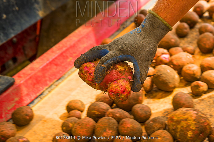 Potato (Solanum tuberosum) crop, harvested tubers used for potato crisps, being sorted by hand in temporary mobile shelter, Norfolk, England, July  -  Mike Powles/ FLPA