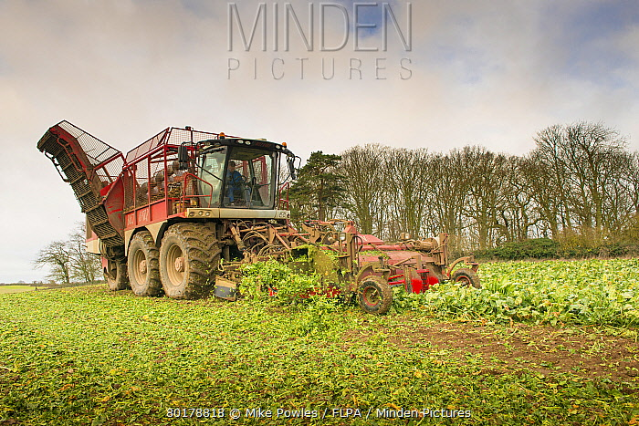 Sugar Beet (Beta vulgaris) crop, self-propelled harvester harvesting field, Norfolk, England, January  -  Mike Powles/ FLPA