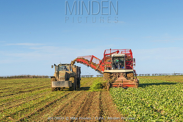 Sugar Beet (Beta vulgaris) crop, self-propelled harvester harvesting and loading trailer with roots, Norfolk, England, February  -  Mike Powles/ FLPA