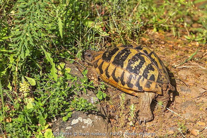 Eastern Hermann's tortoise, Bulgaria  -  David Hosking/ FLPA