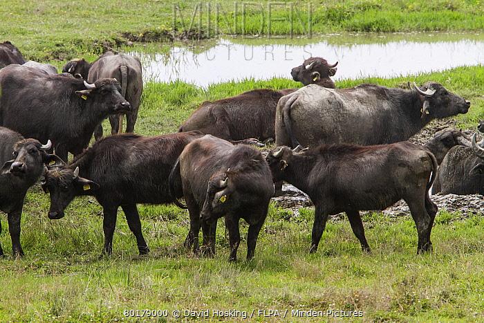 Domestic water buffalo herd at Lake Kerkini Northern Greece  -  David Hosking/ FLPA