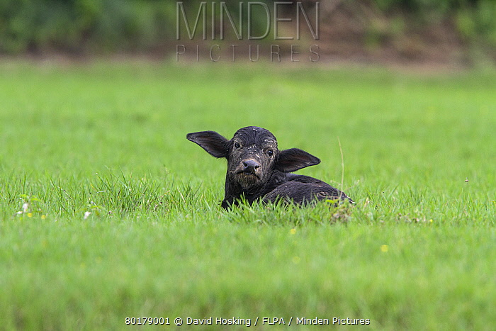 Domestic water Buffalo calf resting  -  David Hosking/ FLPA