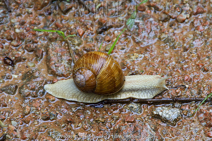 Edible or Roman Snail, Helix pomatia is a species of large, air-breathing land snail or escargot, a terrestrial pulmonate gastropod mollusk in the family Helicidae. Common in Europe, Bulgaria  -  David Hosking/ FLPA