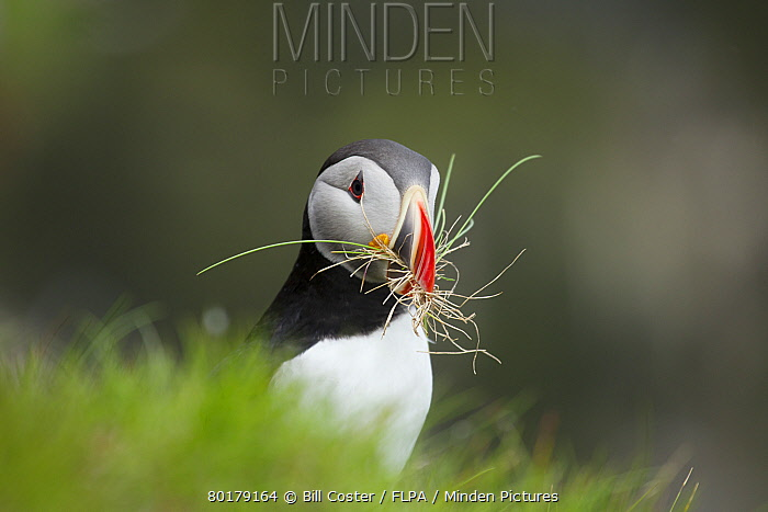 Atlantic Puffin (Fratercula arctica) adult, breeding plumage, with nesting material in beak, standing on clifftop, Latrabjarg, Iceland, June  -  Bill Coster/ FLPA