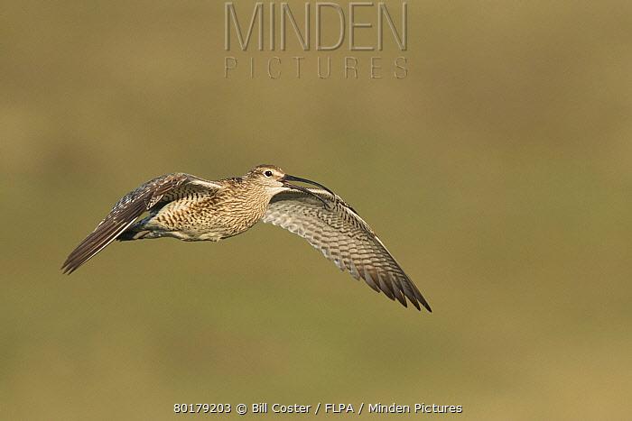 Whimbrel (Numenius phaeopus) adult, in flight, calling, Iceland, June  -  Bill Coster/ FLPA
