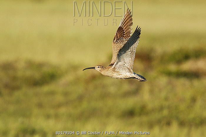 Whimbrel (Numenius phaeopus) adult, in flight, Iceland, June  -  Bill Coster/ FLPA