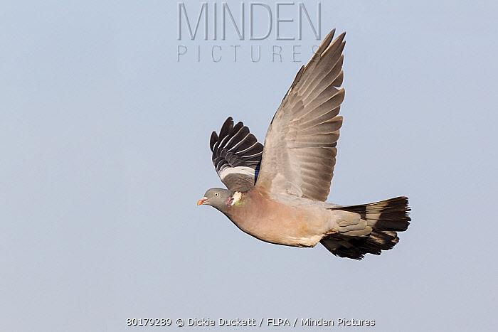 Wood Pigeon (Columba palumbus) adult, in flight, Gloucestershire, England, December  -  Dickie Duckett/ FLPA