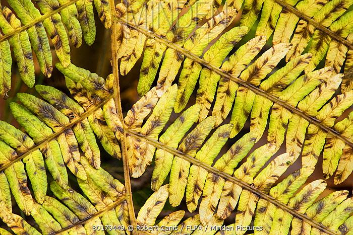 Bracken (Pteridium aquilinum) close-up of frond, changing to autumn colour, Kent, England, October  -  Robert Canis/ FLPA