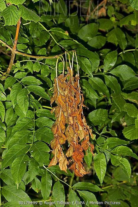 Common Ash (Fraxinus excelsior) dieback of leaves, caused by Ash Dieback (Chalara fraxinea) fungal disease, Norfolk, England, June  -  Roger Tidman/ FLPA