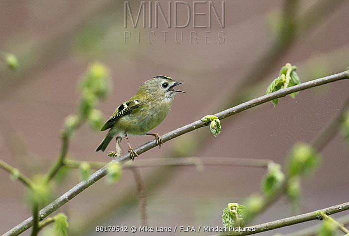 Goldcrest (Regulus regulus) adult, singing, perched on twig, Warwickshire, England, April  -  Mike Lane/ FLPA