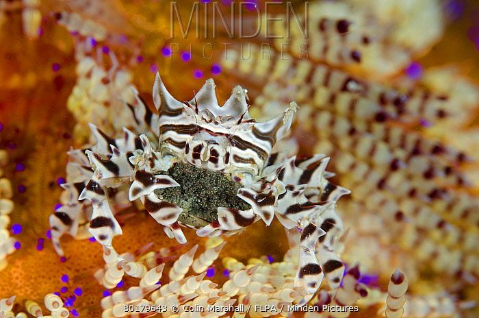 Zebra Urchin Crab (Zebrida adamsii) adult female, carrying eggs beneath abdomen, on Fire Urchin (Asthenosoma varium), Rinca Island, Komodo National Park, Lesser Sunda Islands, Indonesia, July  -  Colin Marshall/ FLPA