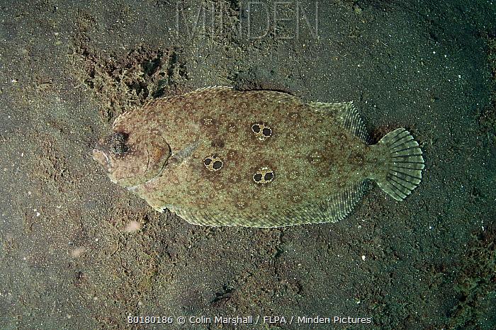 Ocellated Flounder (Pseudorhombus dupliciocellatus) adult, resting on black sand, Lembeh Straits, Sulawesi, Greater Sunda Islands, Indonesia, October  -  Colin Marshall/ FLPA