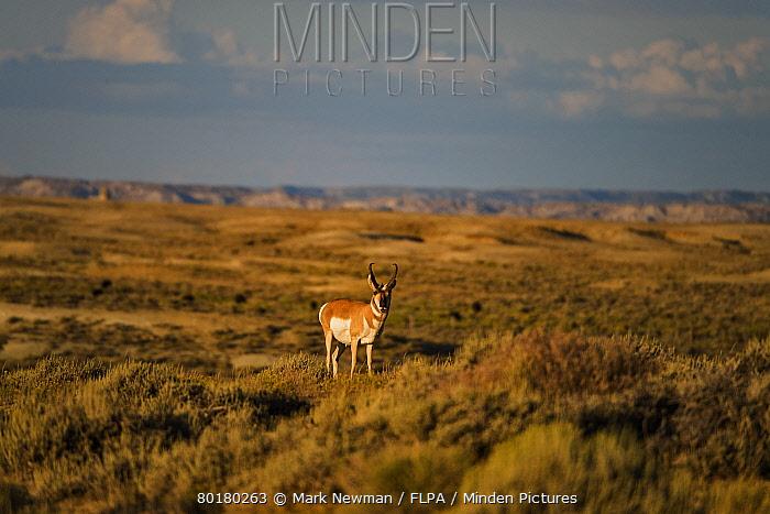 Pronghorn (Antilocapra americana) adult male, standing in prairie habitat, Wyoming, U.S.A., August  -  Mark Newman/ FLPA
