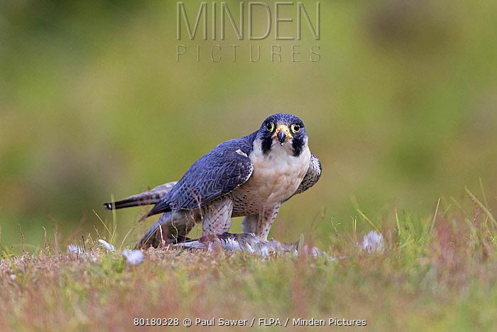 Peregrine Falcon (Falco peregrinus) adult, feeding on Wood Pigeon (Columba palumbus) prey, standing on ground, August (captive)  -  Paul Sawer/ FLPA