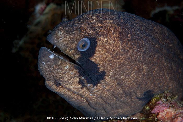 Blackcheek Moray (Gymnothorax breedeni) adult, close-up of head, Christmas Island, Australia, November  -  Colin Marshall/ FLPA