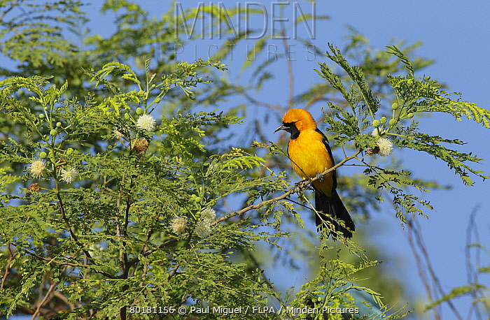 Hooded Oriole (Icterus cucullatus) adult male, perched on twig in flowering tree, Yucatan Peninsula, Mexico, October  -  Paul Miguel/ FLPA