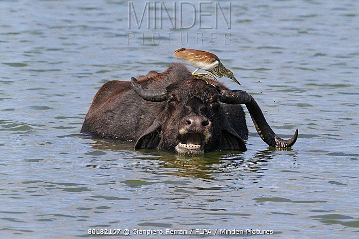 Indian Pond-heron (Ardeola grayii) adult, non-breeding plumage, catching flies on Domestic Water Buffalo (Bubalis bubalis) head in water, Yala National Park, Sri Lanka, January  -  Gianpiero Ferrari/ FLPA