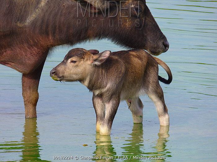 Domestic Water Buffalo (Bubalis bubalis) adult female and newborn calf, standing in shallow water, Udalawawe National Park, Sri Lanka, January  -  Gianpiero Ferrari/ FLPA