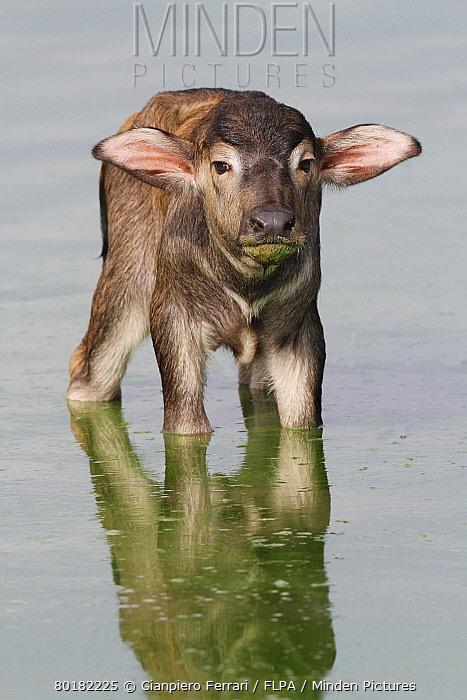 Domestic Water Buffalo (Bubalis bubalis) newborn calf, standing in shallow water, Udalawawe National Park, Sri Lanka, January  -  Gianpiero Ferrari/ FLPA