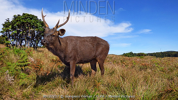 Sambar (Rusa unicolor) adult male, standing in montane grassland, Horton Plains National Park, Sri Lanka, February  -  Gianpiero Ferrari/ FLPA