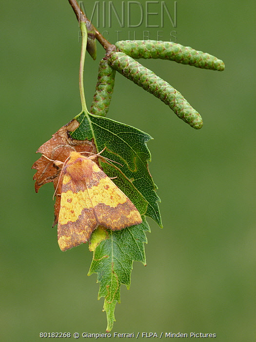 Barred Sallow (Tiliacea aurago) adult, roosting on Silver Birch (Betula pendula) leaf, Leicestershire, England, September  -  Gianpiero Ferrari/ FLPA