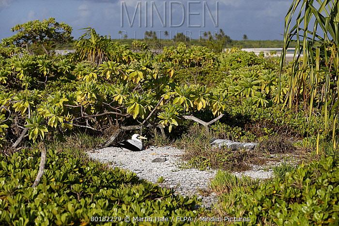Masked Booby (Sula dactylatra) adult, sitting on eggs at nest scrape, Morane Island, Tuamotu Islands, French Polynesia, November  -  Martin Hale/ FLPA