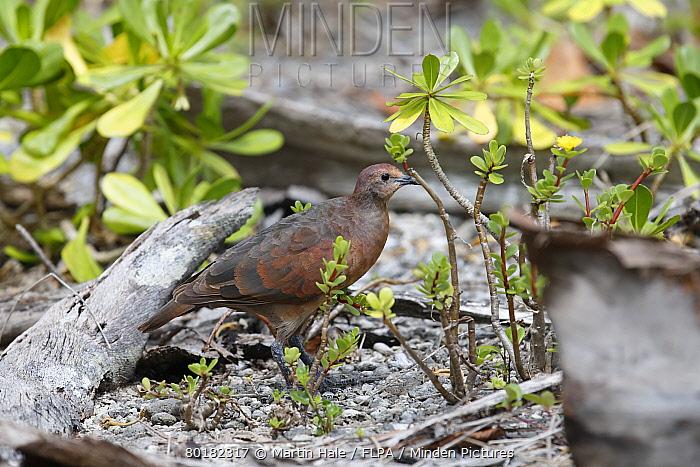 Polynesian Ground-dove (Alopecoenas erythropterus) adult female, standing on ground amongst low vegetation and coconut palm debris, Tenararo, Tuamotu Islands, French Polynesia, November  -  Martin Hale/ FLPA