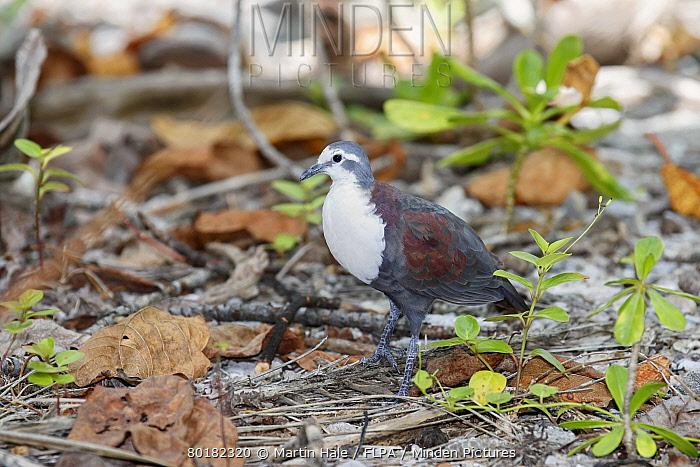 Polynesian Ground-dove (Alopecoenas erythropterus) adult male, standing on ground amongst low vegetation and coconut palm debris, Tenararo, Tuamotu Islands, French Polynesia, November  -  Martin Hale/ FLPA