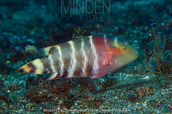 Red-breasted Wrasse (Cheilinus fasciatus) adult, swimming, Lembeh Straits, Sulawesi, Greater Sunda Islands, Indonesia, October  -  Colin Marshall/ FLPA