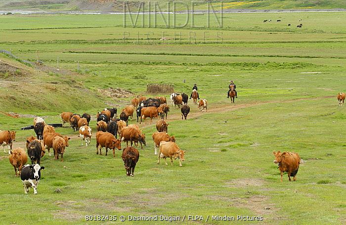 Cattle farming, herding dairy cows on horseback, Svarfaoardalur, Dalvikurbyggo, Iceland, June  -  Desmond Dugan/ FLPA