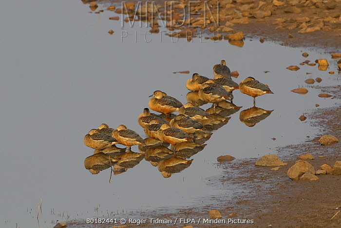 Lesser Whistling-duck (Dendrocygna javanica) flock, roosting in shallow water, Tadoba National Park, Maharashtra, India, February  -  Roger Tidman/ FLPA