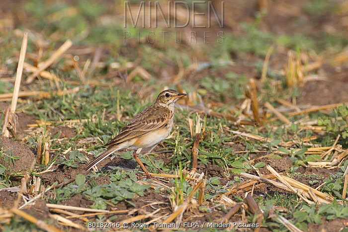 Paddyfield Pipit (Anthus rufulus) adult, standing on ground, Tadoba National Park, Maharashtra, India, February  -  Roger Tidman/ FLPA