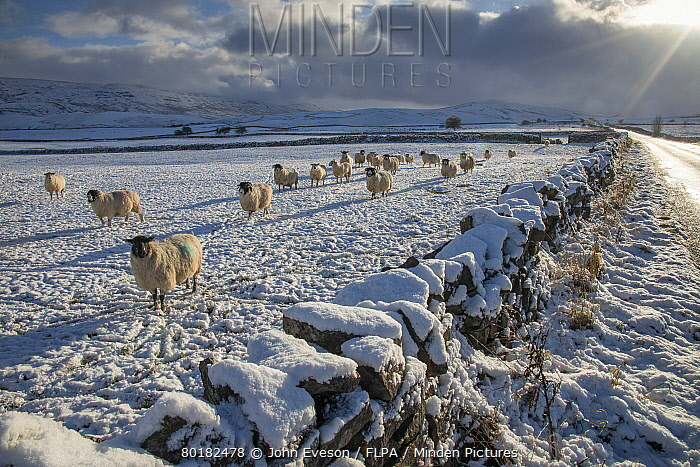 Domestic Sheep, flock, standing beside drystone wall in snow covered pasture, near Kirkby Stephen, Cumbria, England, December  -  John Eveson/ FLPA
